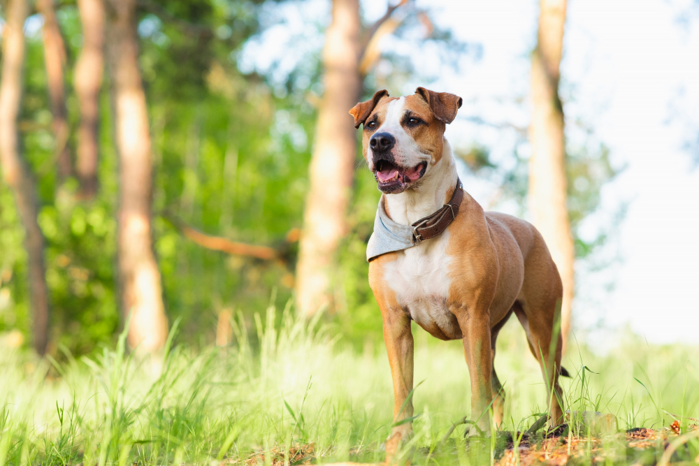 staffordshire-terrier-mutt-outdoors-happy-healthy-pets-concept